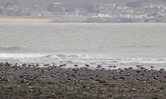190114 (7) oystercatchers and curlew