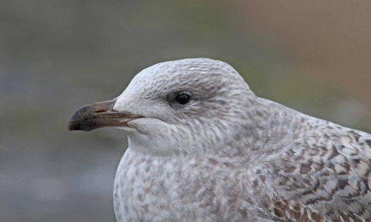 190116 juvenile herring gull