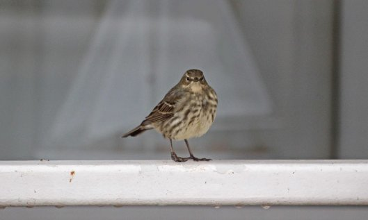 190119 hopalong rock pipit