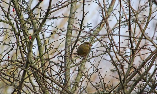 190122 greenfinch