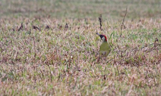 190124 green woodpecker