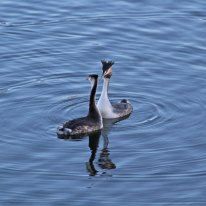 21a Great crested grebe