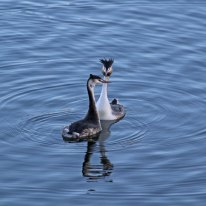 21b Great crested grebe