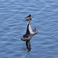 21c Great crested grebe