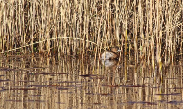22 little grebe