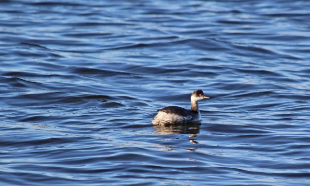 33 Black-necked grebe
