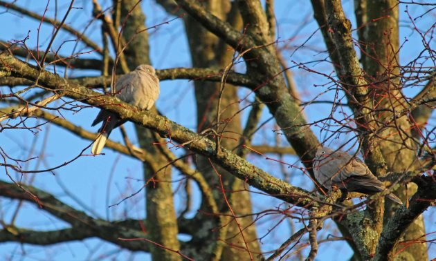 48 collared dove