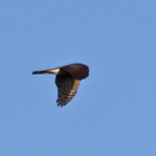 58a sparrowhawk