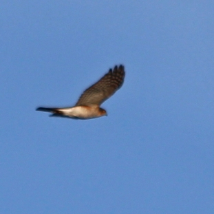 58b sparrowhawk