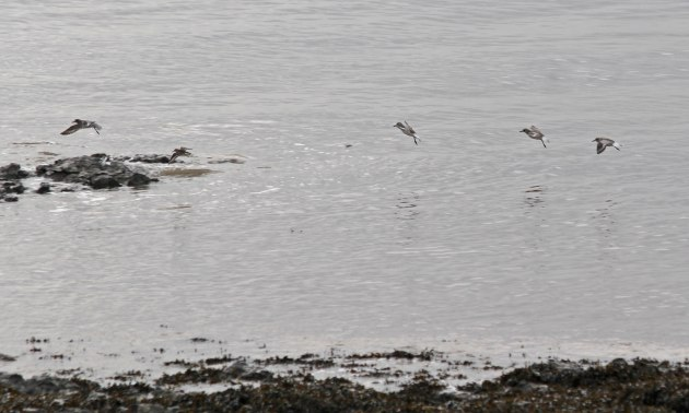 78 79 grey plover and dunlin