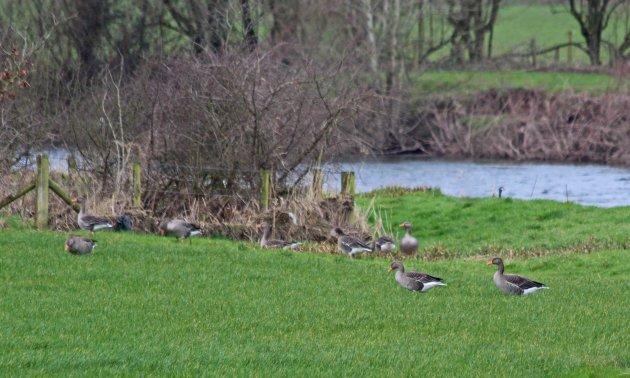 106 greylag goose