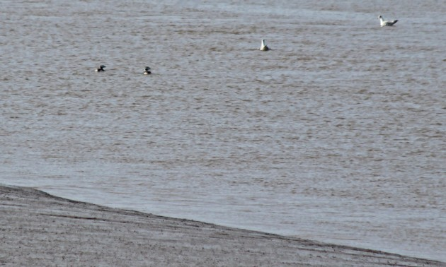 109 long-tailed duck