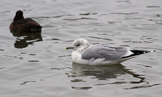 190205 Common gull