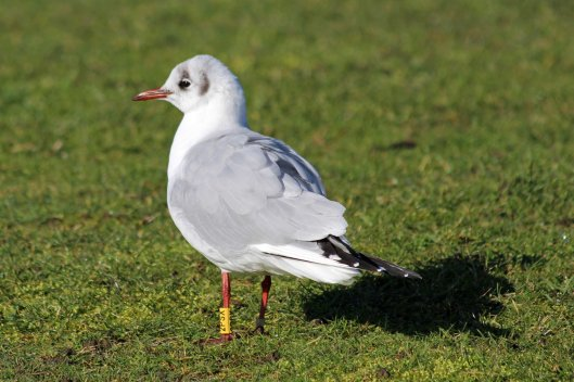 190208 Black-headed gull