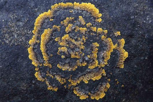 190209 Caloplaca lichen