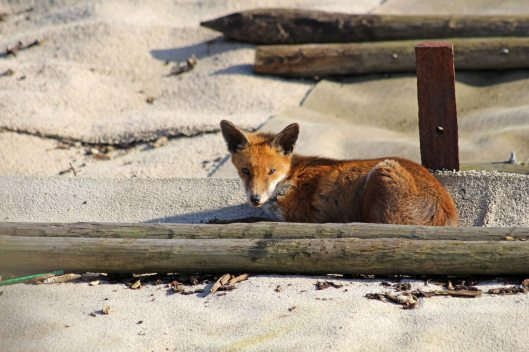 190215 fox