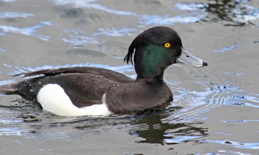 190217 tufted duck