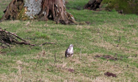 190218 4 Common buzzard