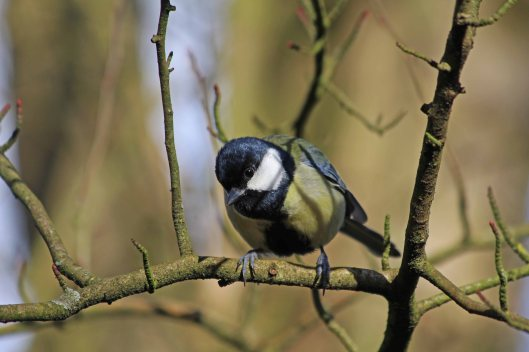 190218 Great tit