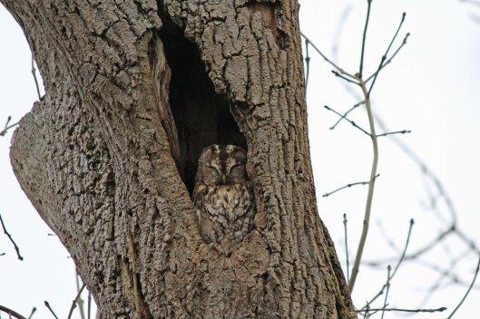 190220 Tawny owl