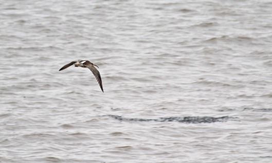 190222 Curlew