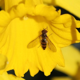 190226 hoverfly (1)