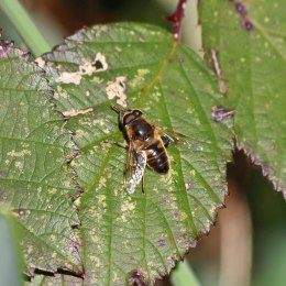 190226 hoverfly (2)