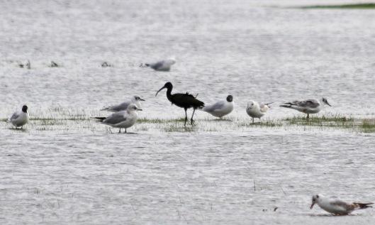 115 glossy ibis
