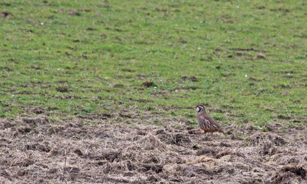 119 red-legged partridge