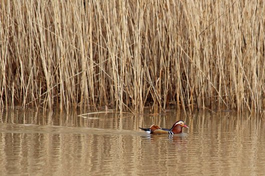 190306 Mandarin duck