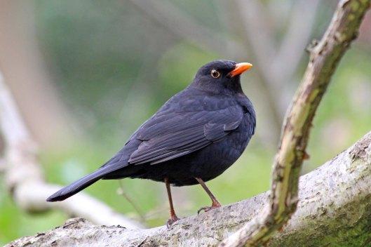 190307 blackbird