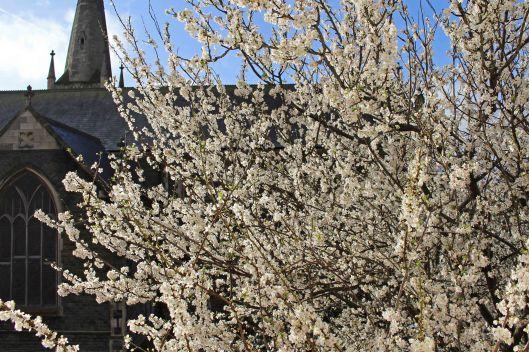190322 cherry tree (1) 0403