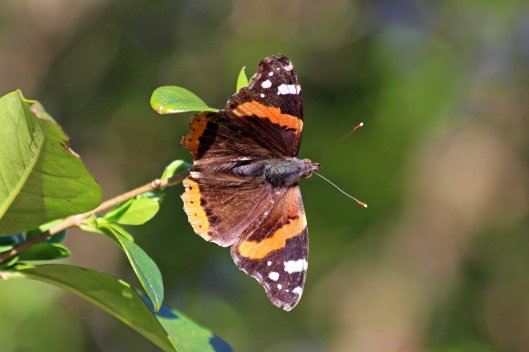 190324 Red admiral