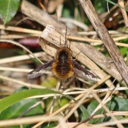 190326 (11) bee-fly