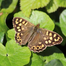190326 (2) speckled wood