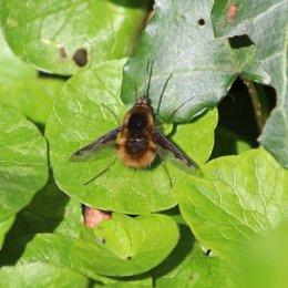 190326 (3) bee-fly