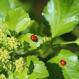 190326 (4) 7-spot ladybird