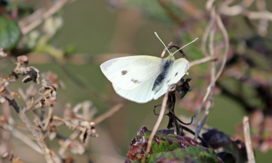 190328 white butterfly (1)