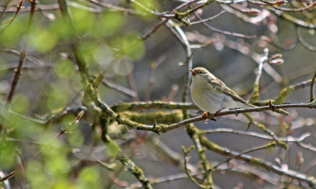 121 willow warbler