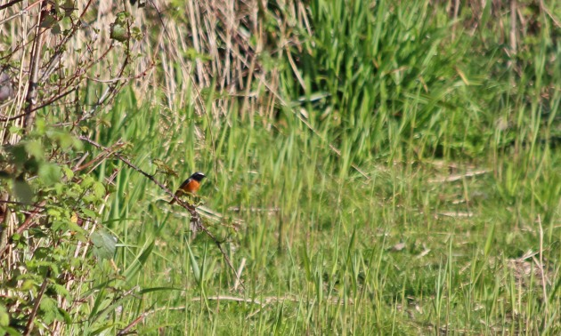 124 common redstart