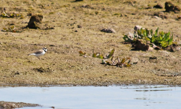 128 little ringed plover