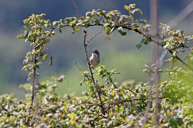 132 whitethroat