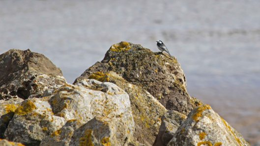 190402 pied wagtail (1)