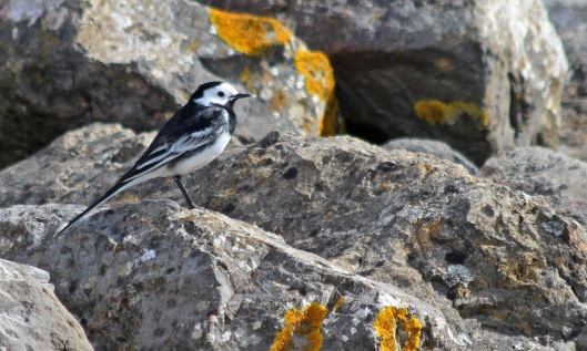 190402 pied wagtail (2)