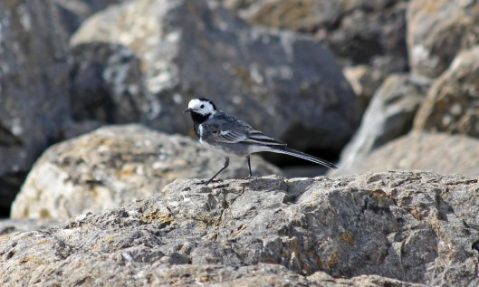 190402 pied wagtail (3)