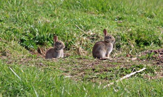 190403 bunnies (1)