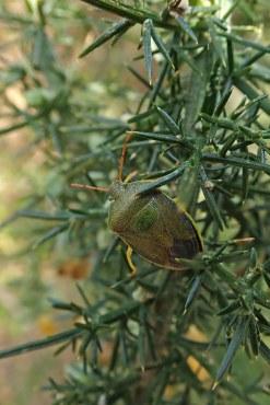190406 gorse shieldbug (1)