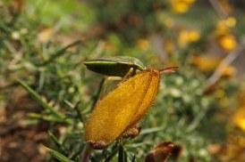 190406 gorse shieldbug (3)