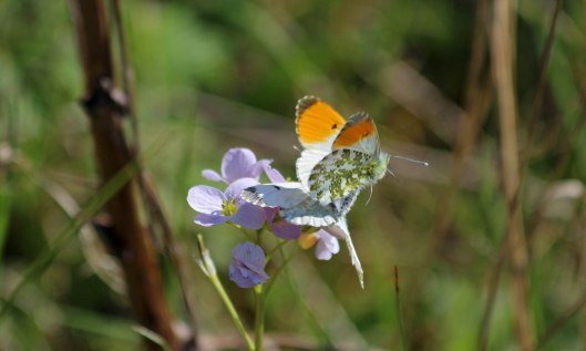 190410 Orange-tip male and female (1)