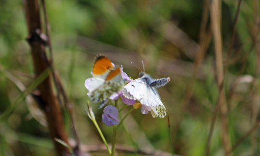 190410 Orange-tip male and female (2)